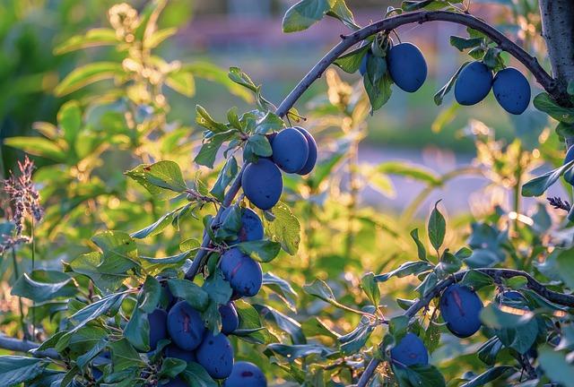 švestky na stromě